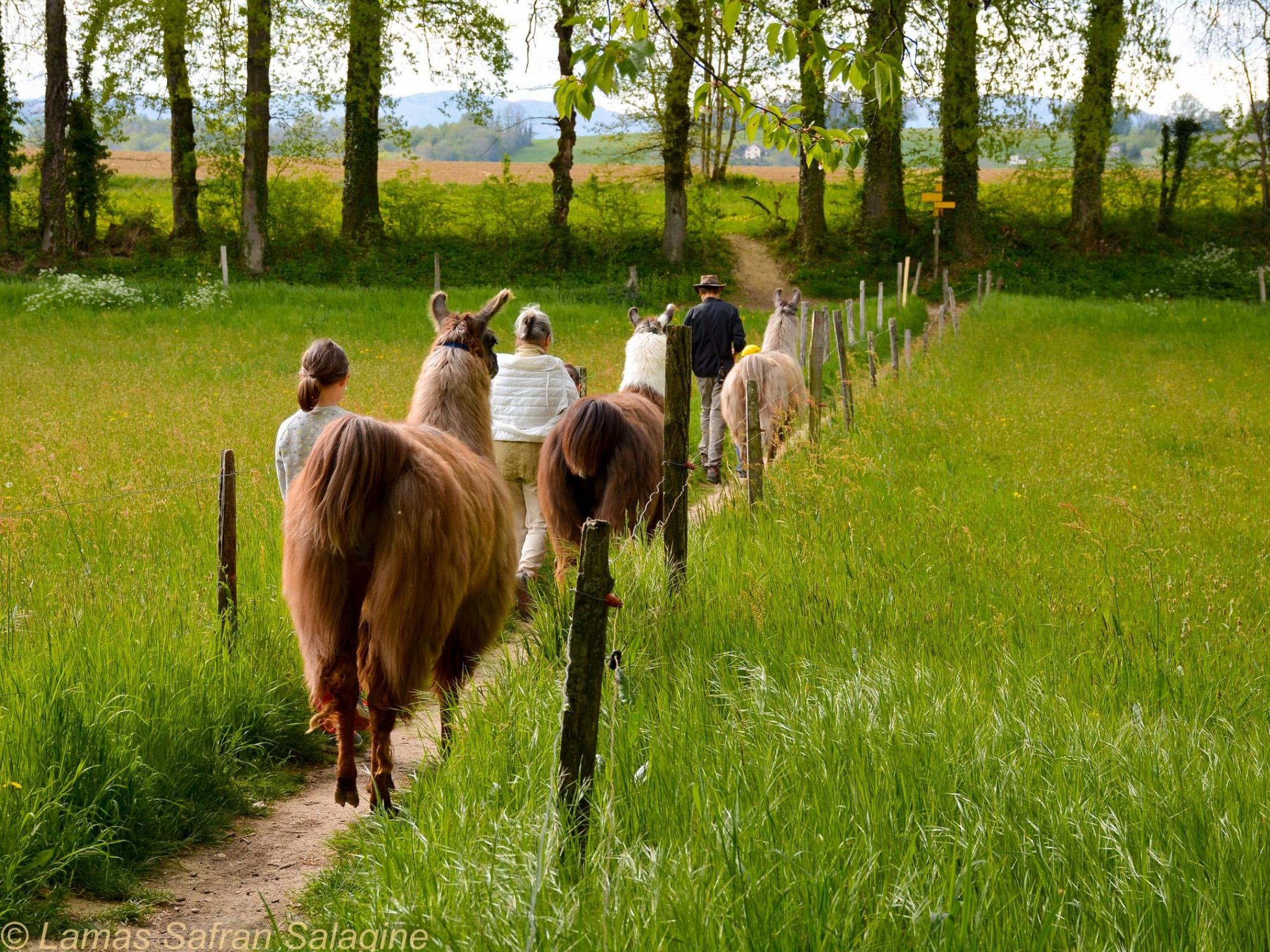 Balade de lamas - Dominique Griot Les Lamas de Salagine - Marché des Producteurs Les Trésoms Annecy