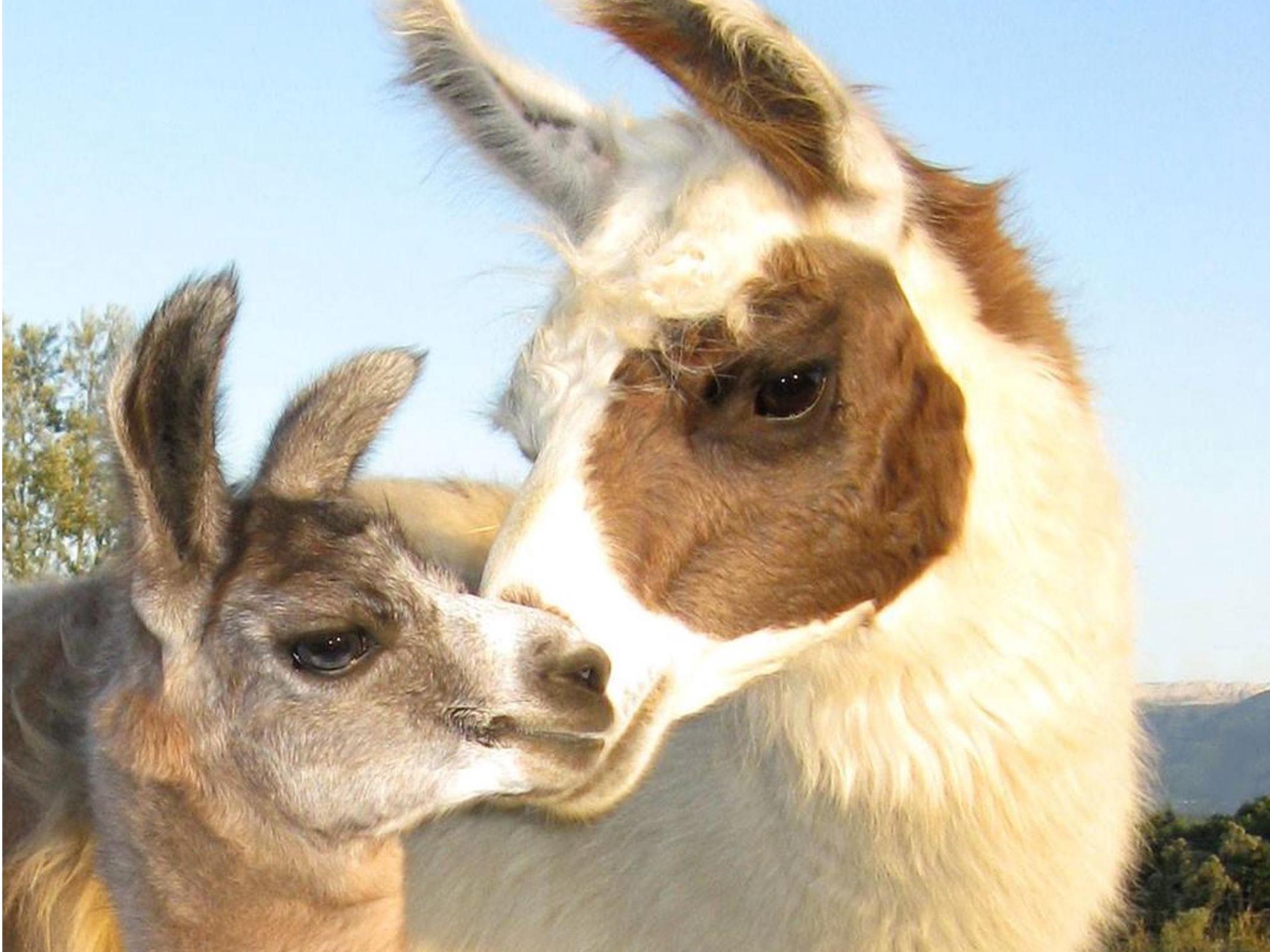 Lamas de Salagines - Josianne et Dominique Griot - Marché des producteurs Les Trésoms Annecy