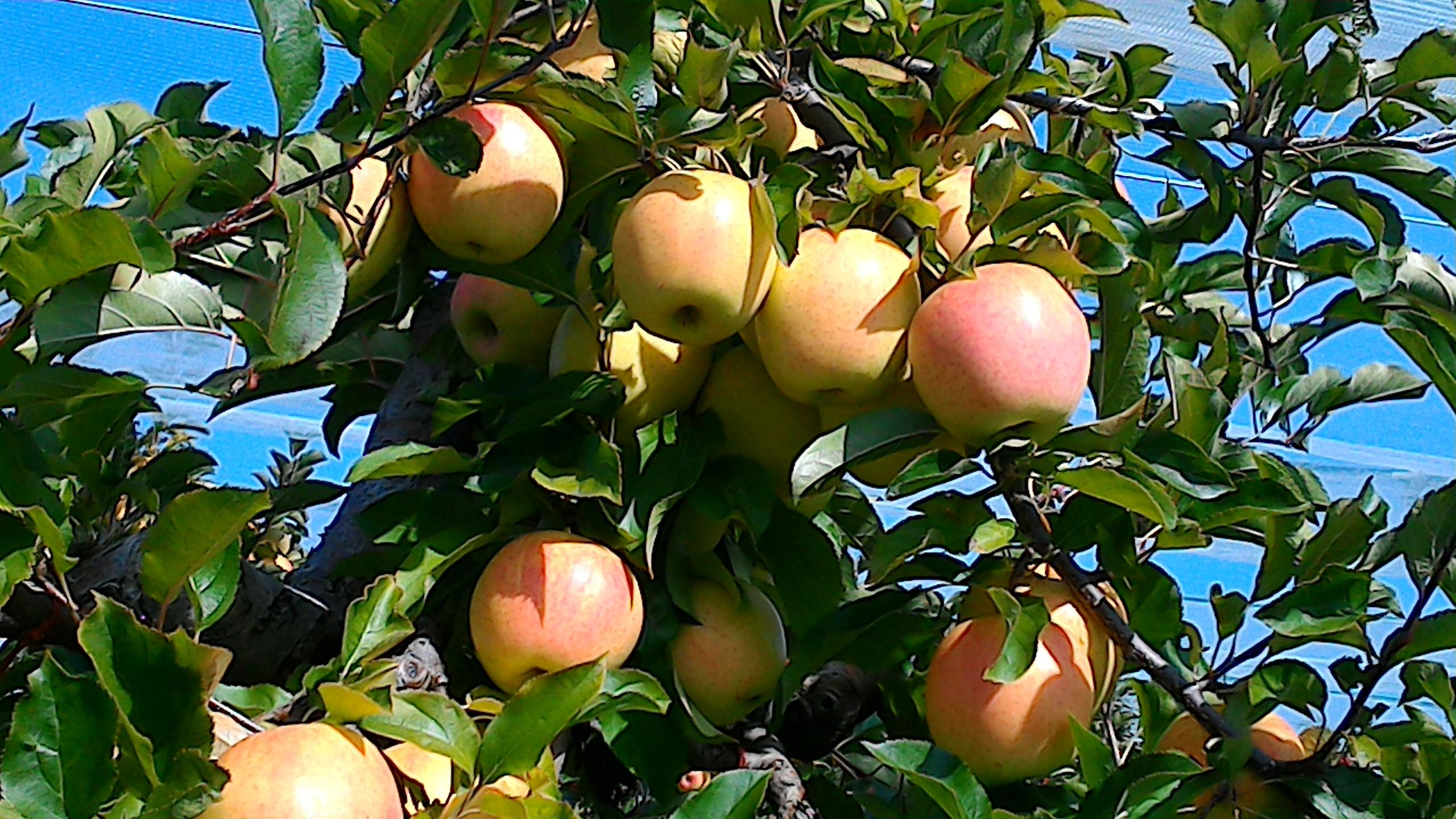 Pommes - Didier Bunaz - Marché des producteurs - Haute-Savoie - Les Trésoms